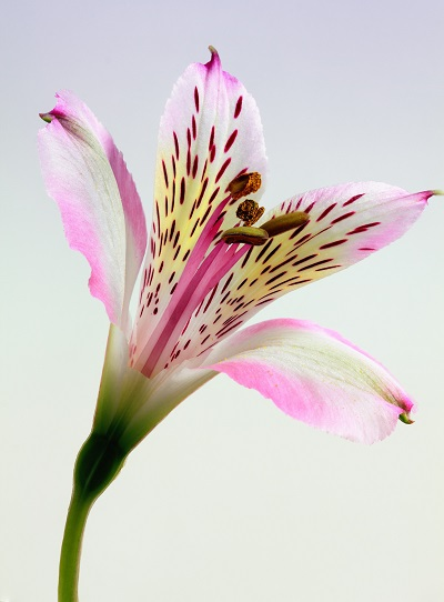 pink and white petal flower